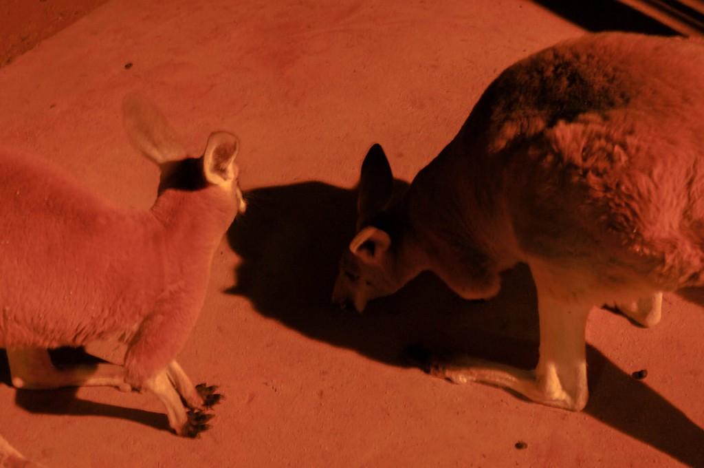 Adolescent kangaroos Coober Pedy