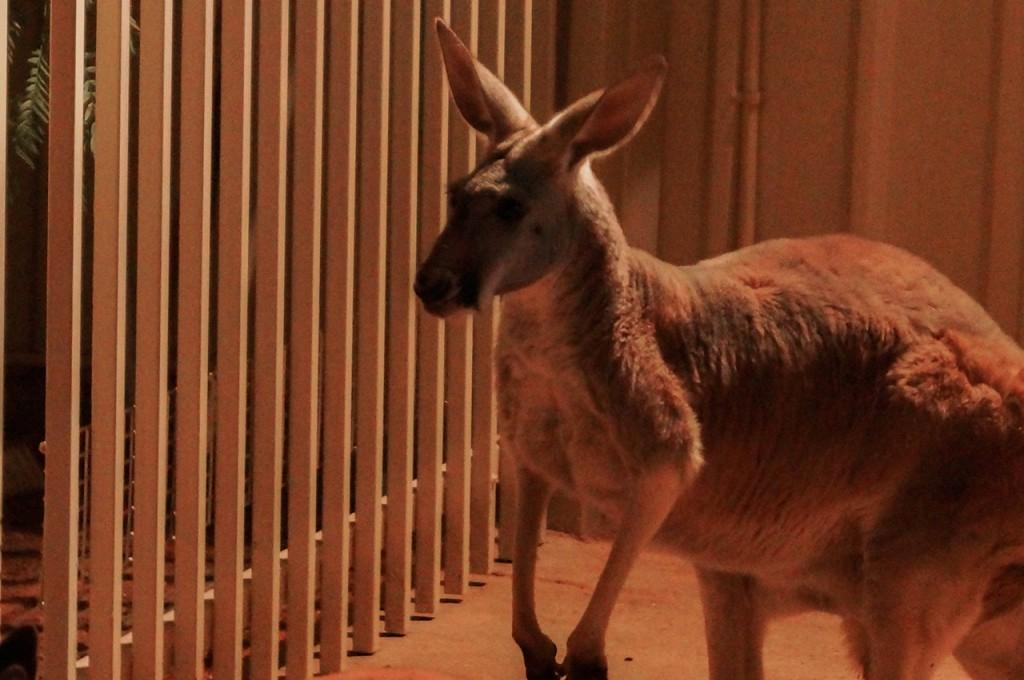Kangaroo at Coober Pedy