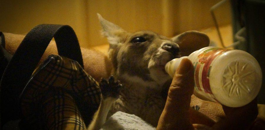 Meeting Orphaned Baby Kangaroos