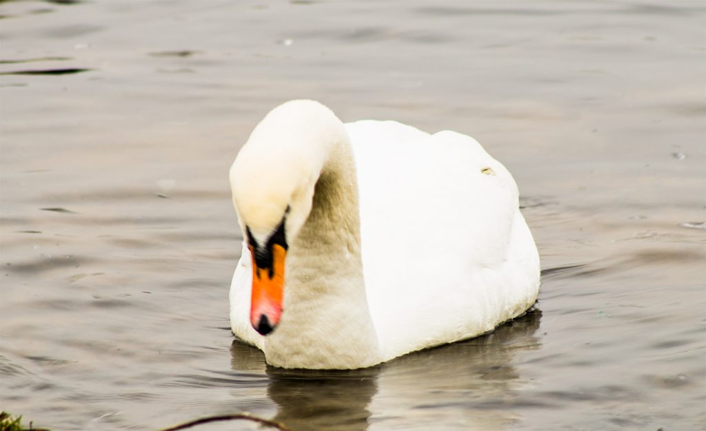 Swan at Chasewater