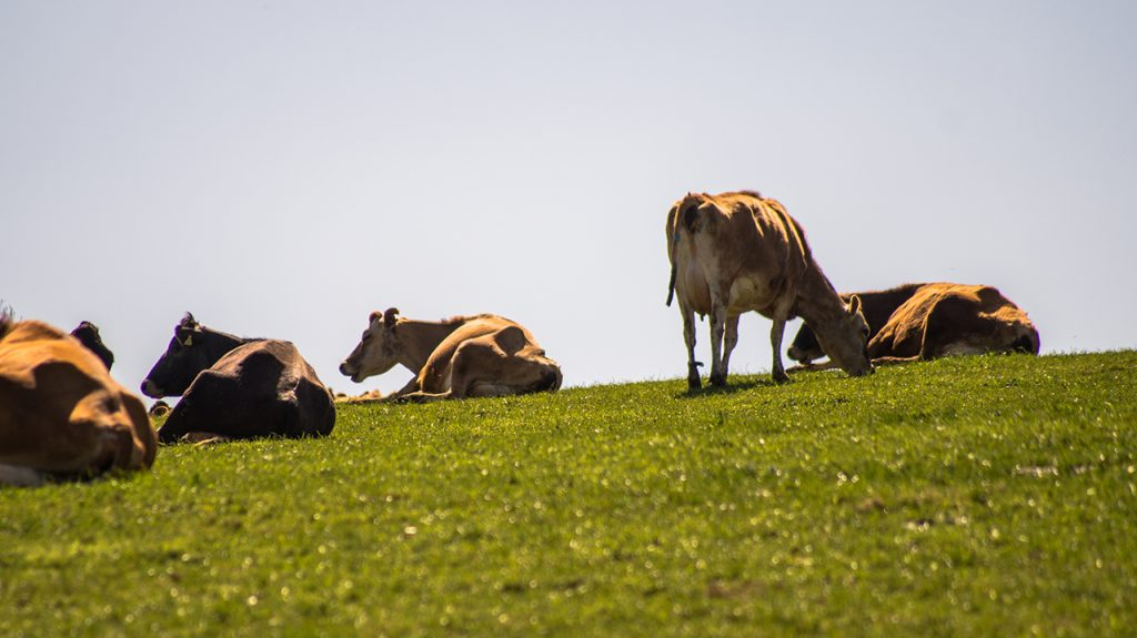 Cows in Staffordshire