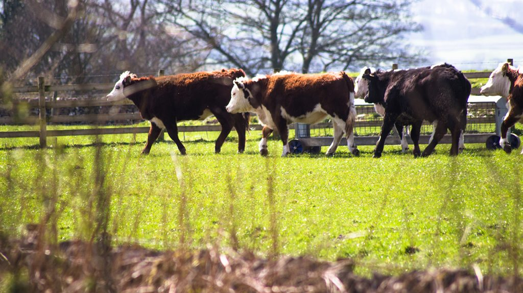 Derbyshire Cows in the Peak District
