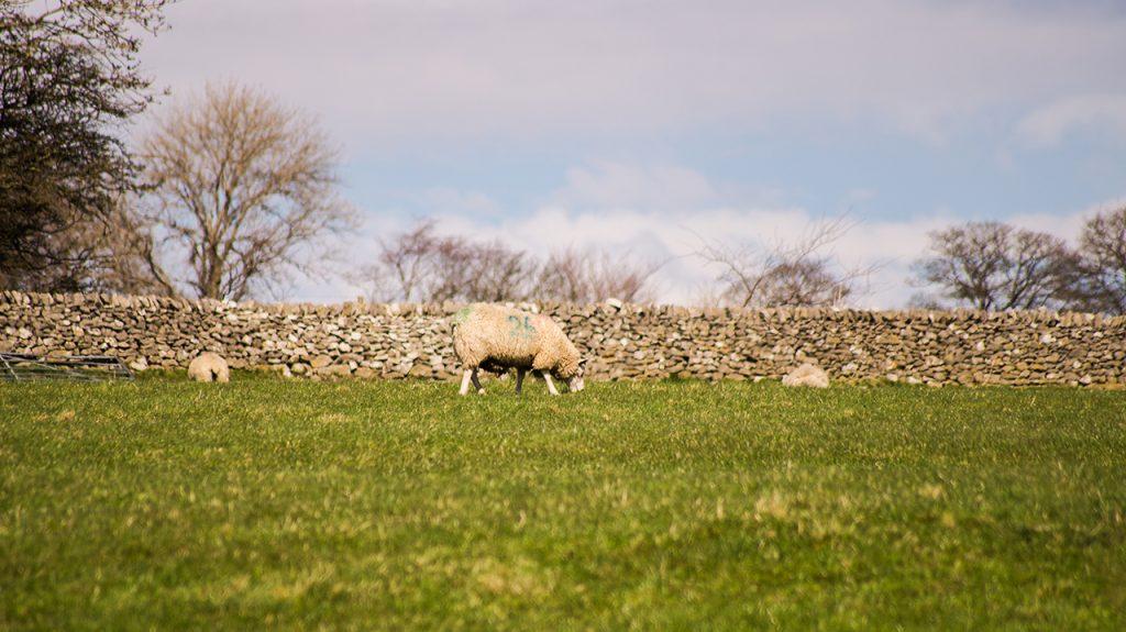 Derbyshire Sheep in the Peak District