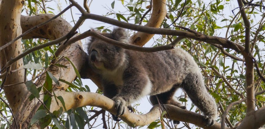 Koala Spotting at Kennett River on the Great Ocean Road
