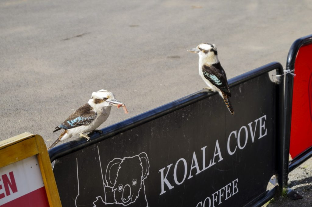 Kookaburras at Kennett River