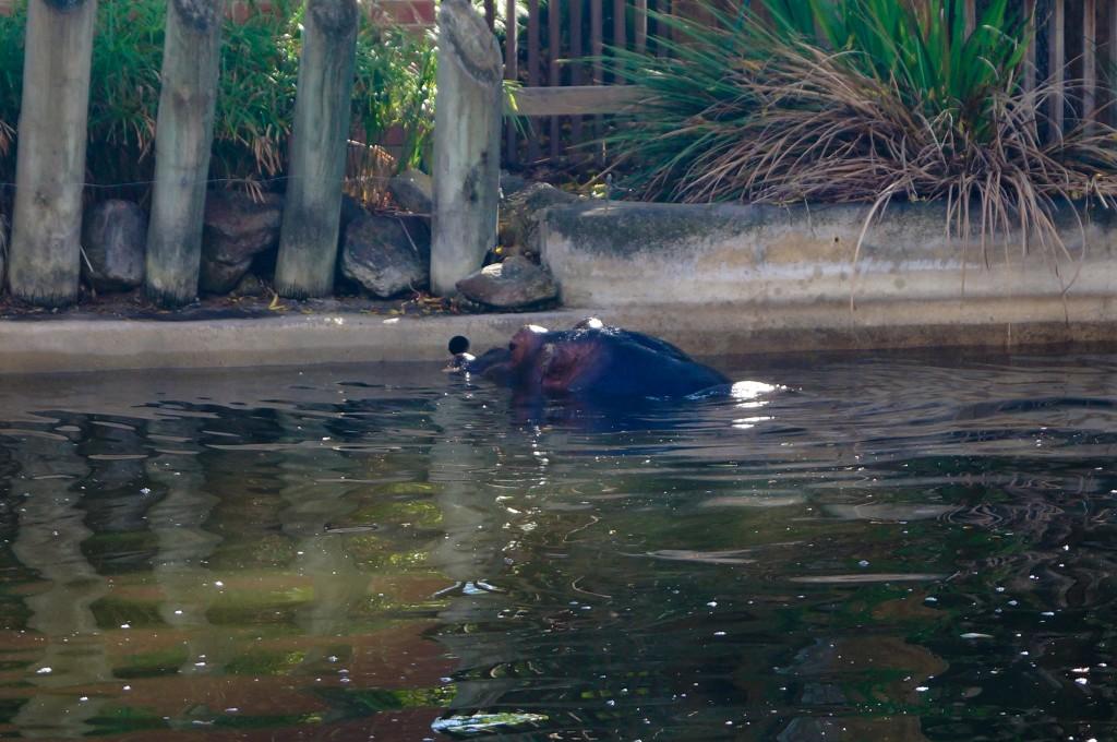 Adelaide-Zoo-Hippo