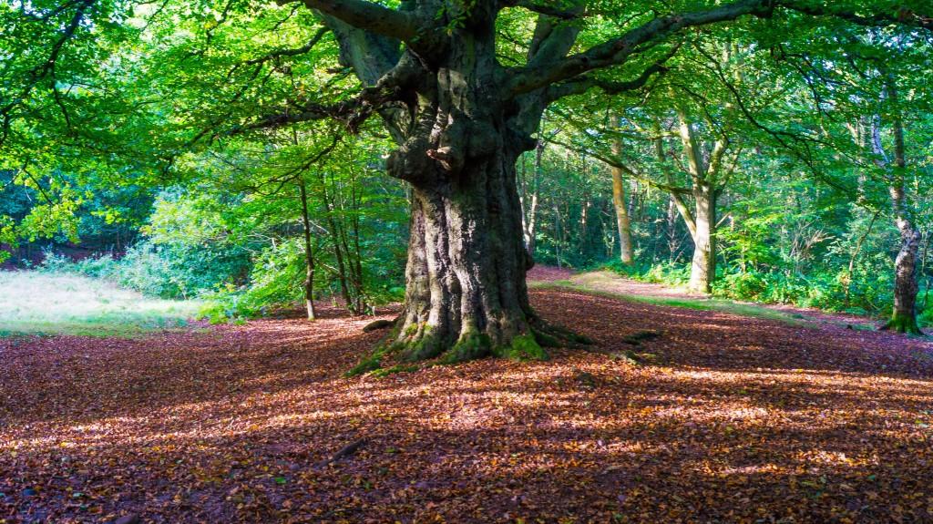 Cannock Chase Tree