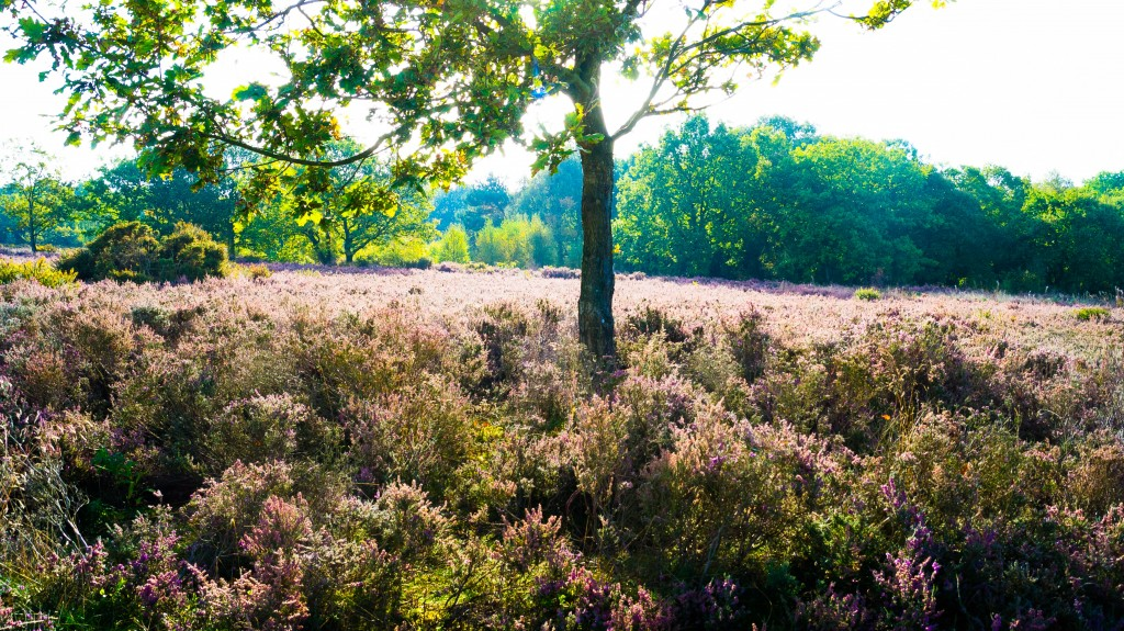 Heather on Shoal Hill Common