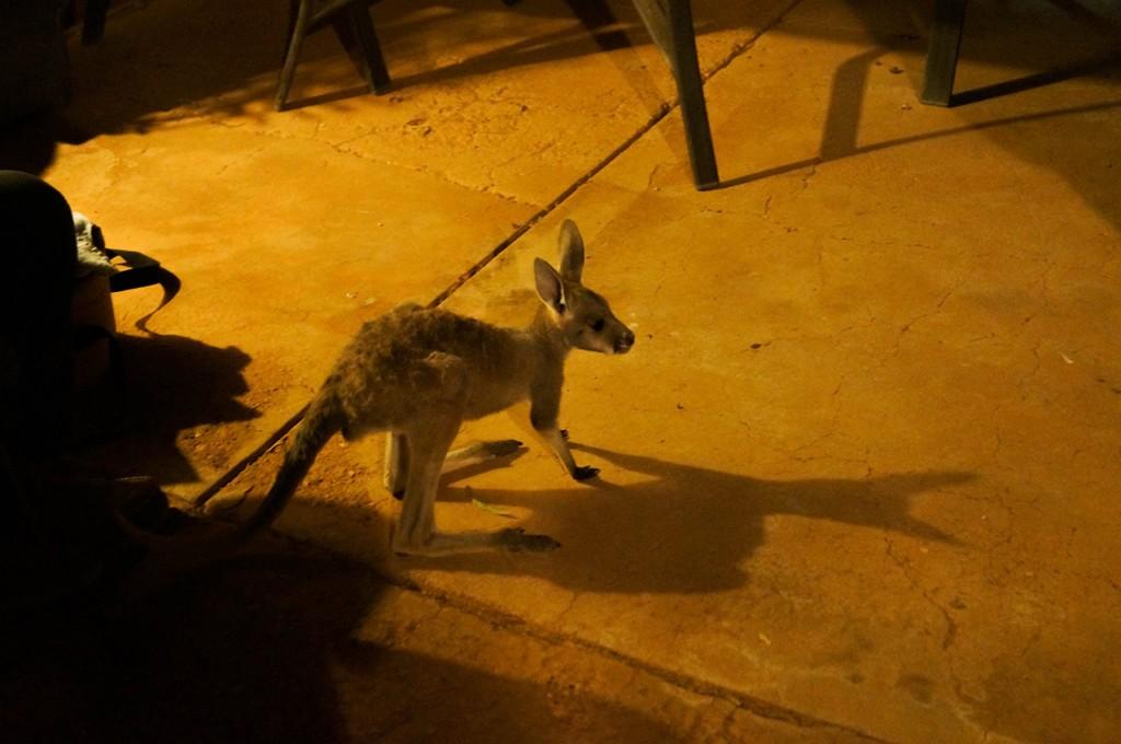 Joey, baby kangaroo, Coober Pedy