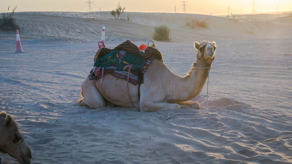 Lonely Camel in Dubai