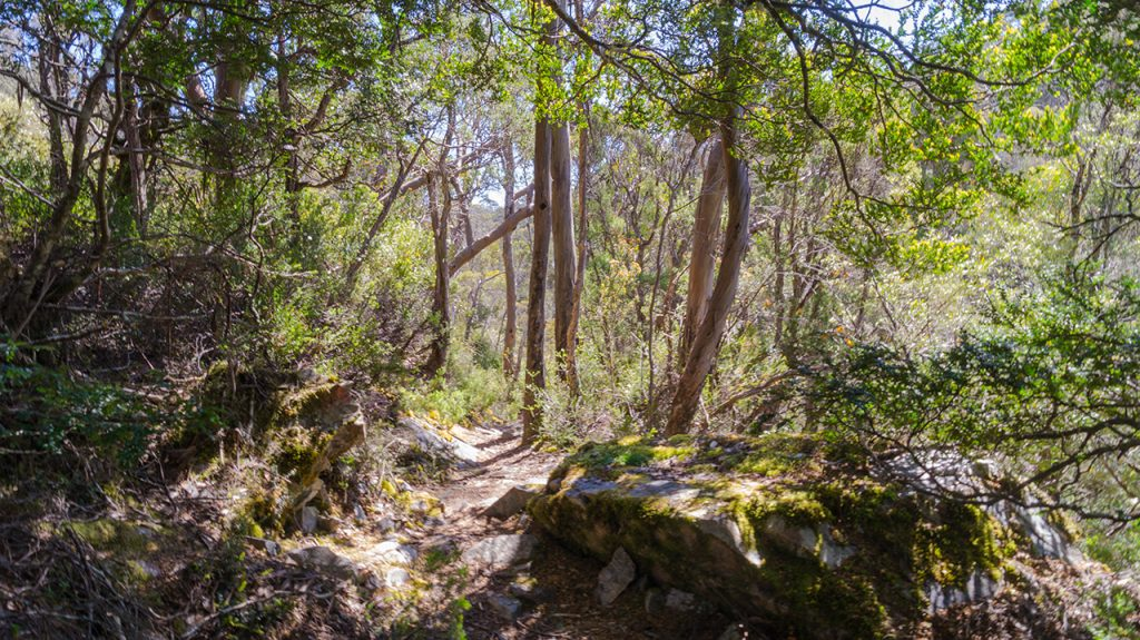Cradle Mountain Forest
