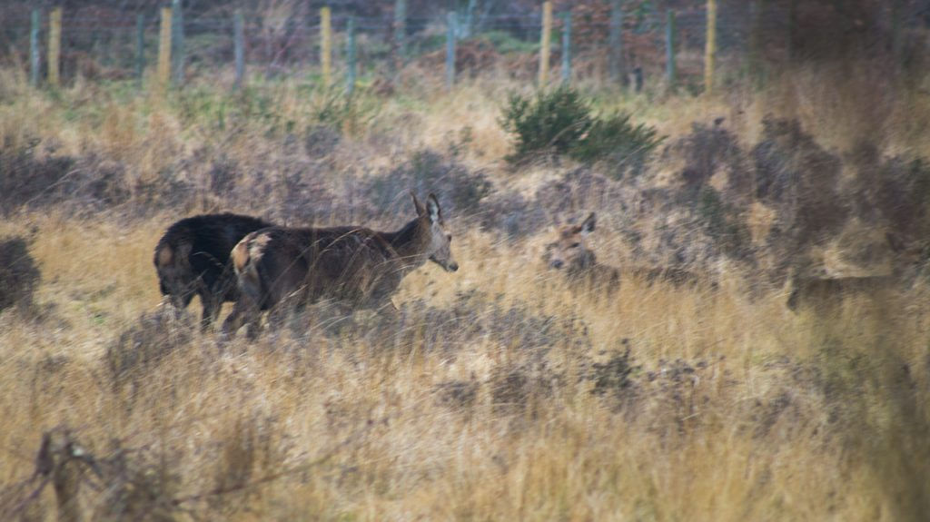 Deer at Chasewater