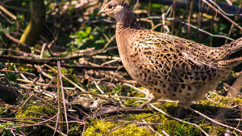 Pheasant Hen in the Peak District