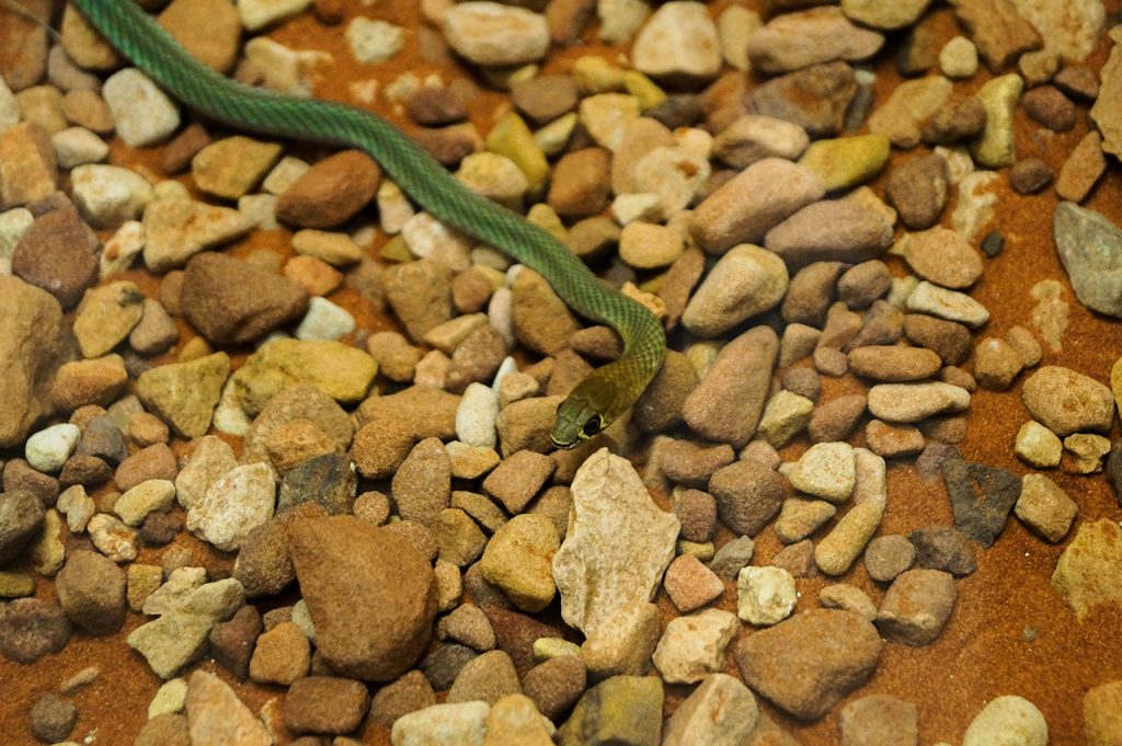 Super cute snake at Alice Springs Reptile Centre