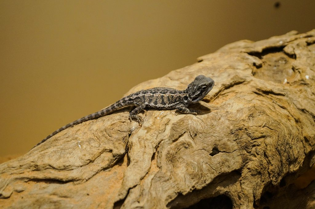 Alice Springs Reptile Centre Photogenic Lizard