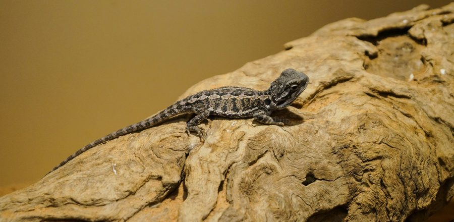 A Trip to the Alice Springs Reptile Centre