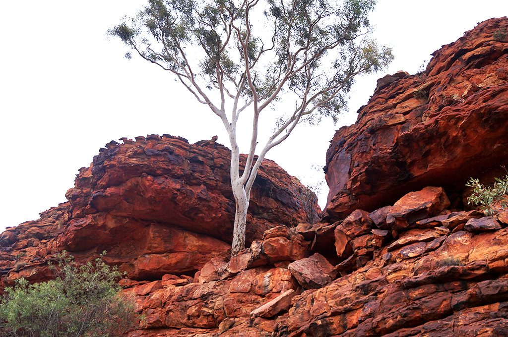 Ghost gum tree Kings Canyon Rim walk Australia