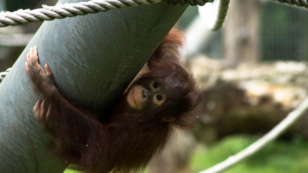 Baby Orangutan Koln Zoo