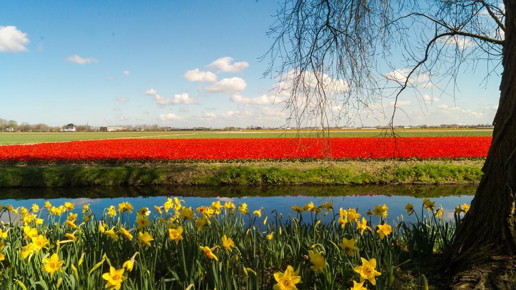 Keukenhof Tulip Field