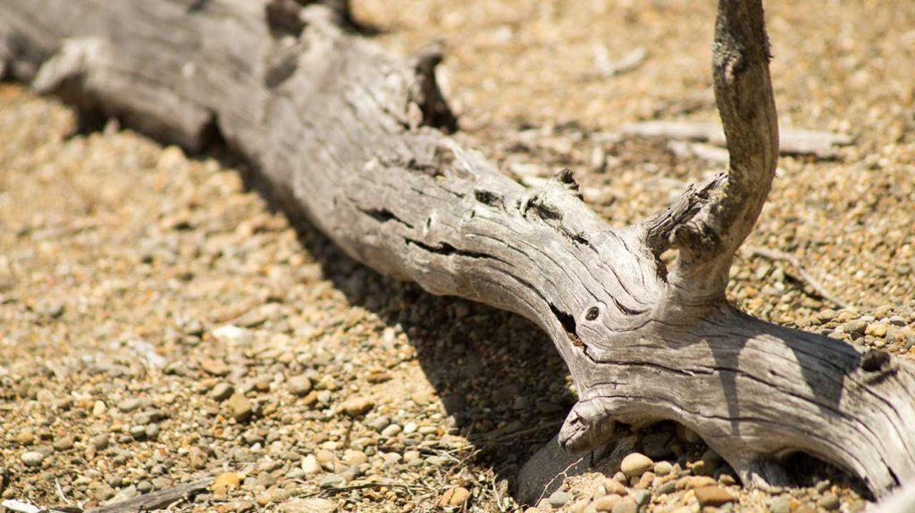 Deadwood at Lake St Clair