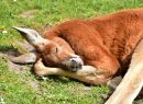 Sleeping Red Kangaroo