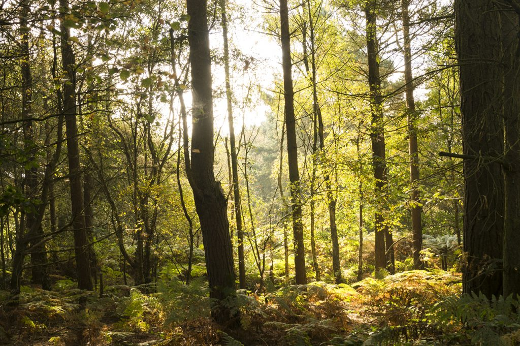 Cannock Chase in the morning sun