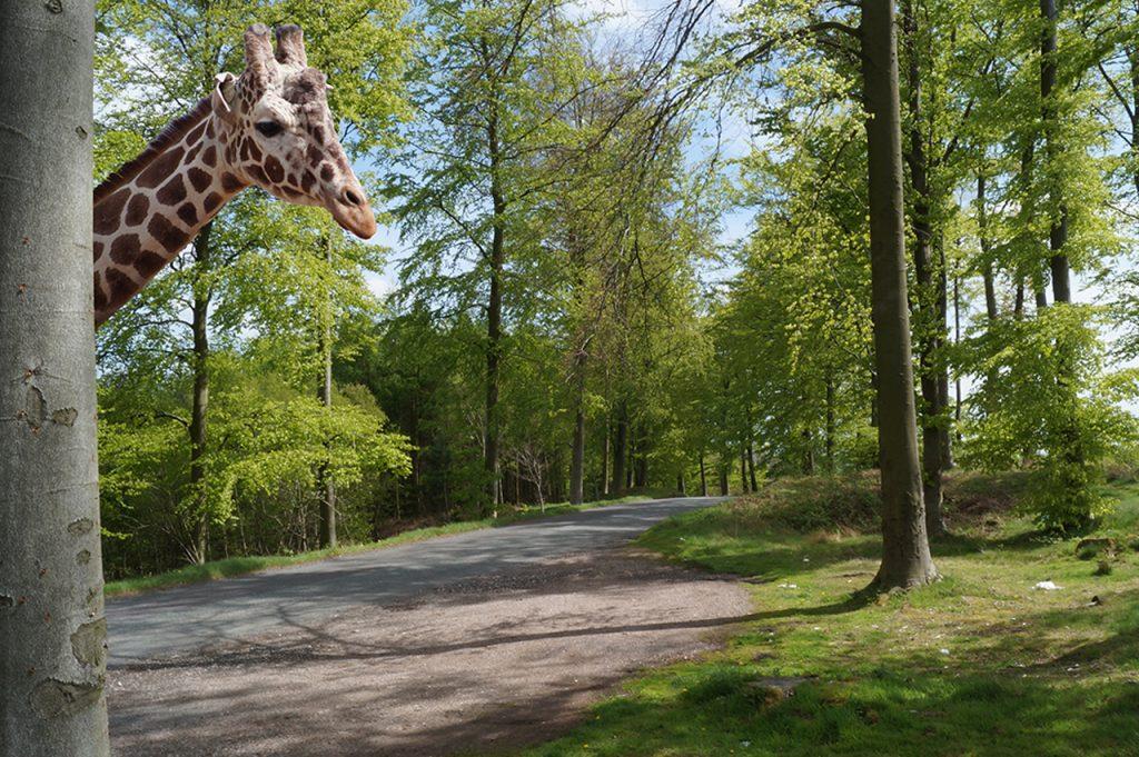 Giraffe on Cannock Chase