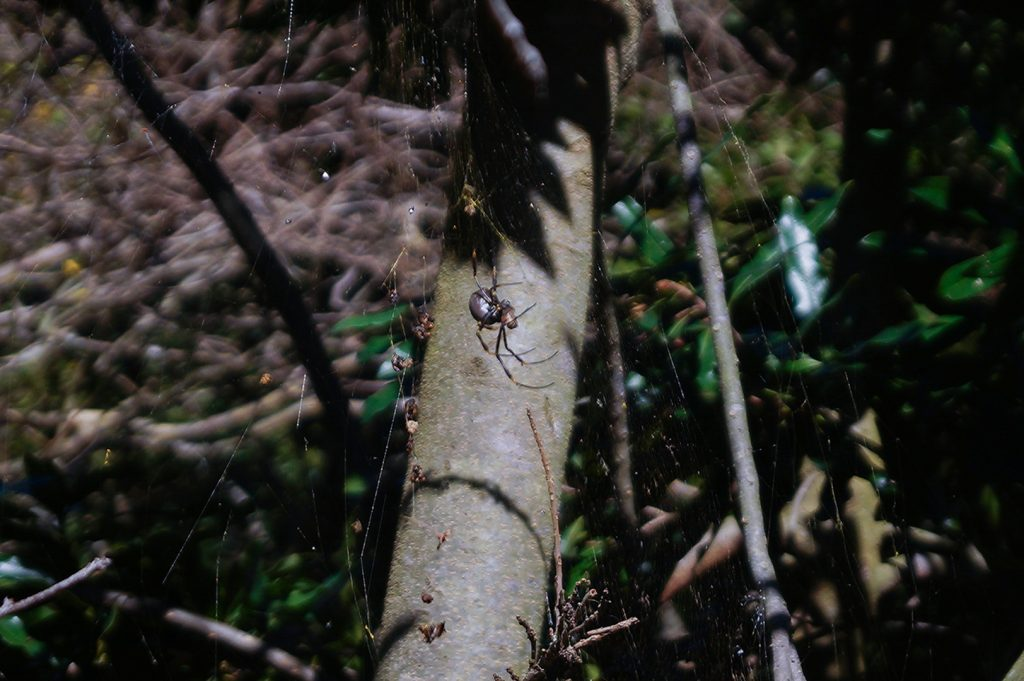 Spider in Sydney Botanic Gardens