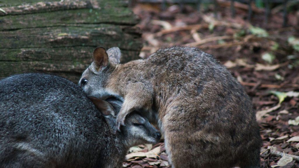 Joeys sparring at Featherdale Wildlife Park