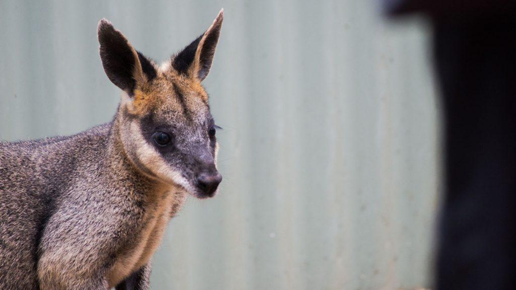 Australian marsupial at Featherdale Wildlife Park