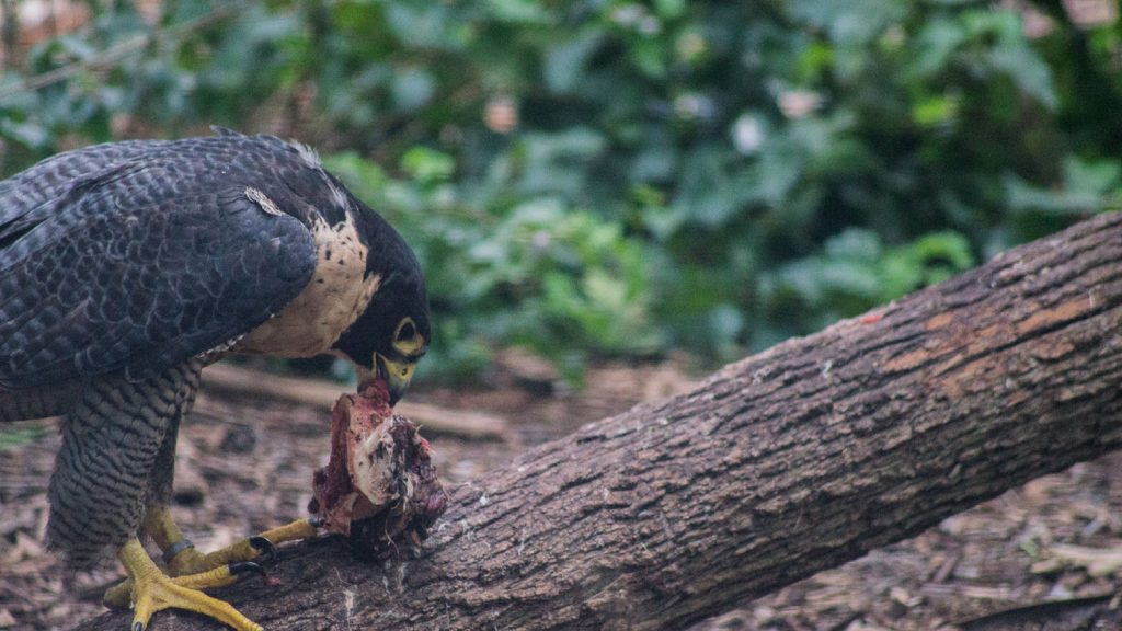 Peregrine Falcon at Featherdale Wildlife Park