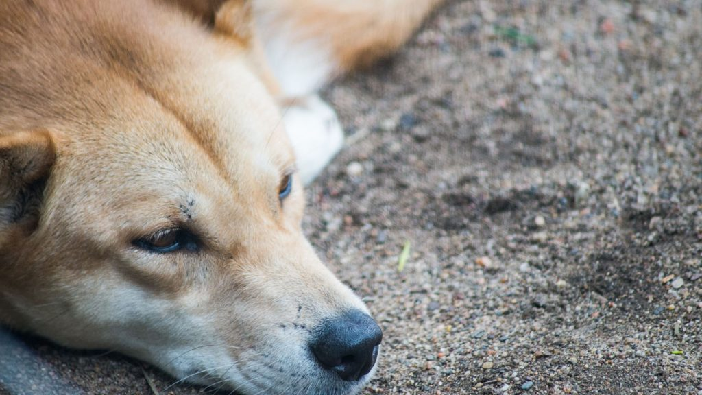 A dingo at Featherdale Wildlife Park
