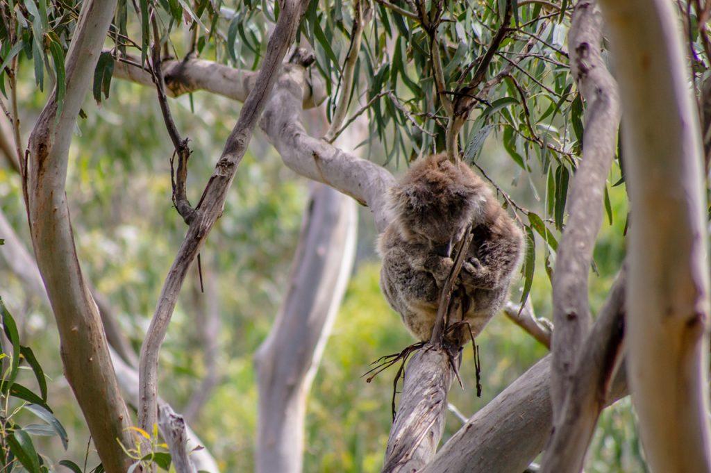 Koala along Kennett River Koala Walk