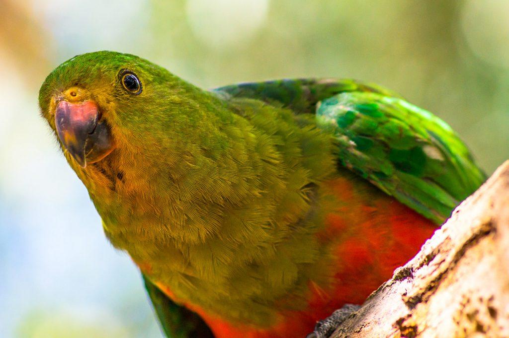 King Parrot at Kennett River