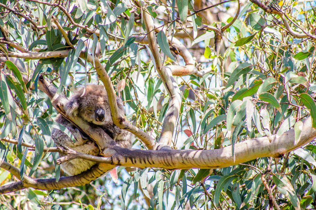 Koala at Kennett River Koala Walk